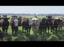 Коровы как источник парникового эффекта