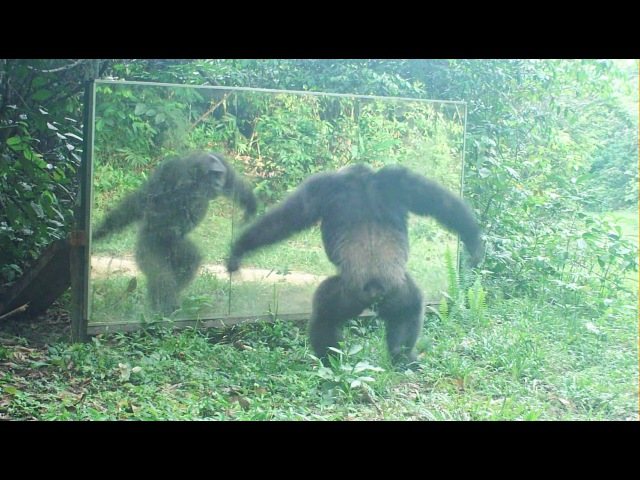 Chimpanzees still angry in front of the mirrors but no longer all of them Chimpanzés tous fâchés