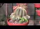 Vivero Productor de Cactus Italiano./מפיק משתלת קקטוסים איטלקי .