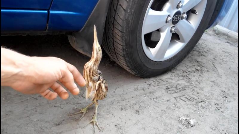 Выпь .Смешная птица