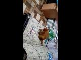 Кошак vs машинка для стрижки