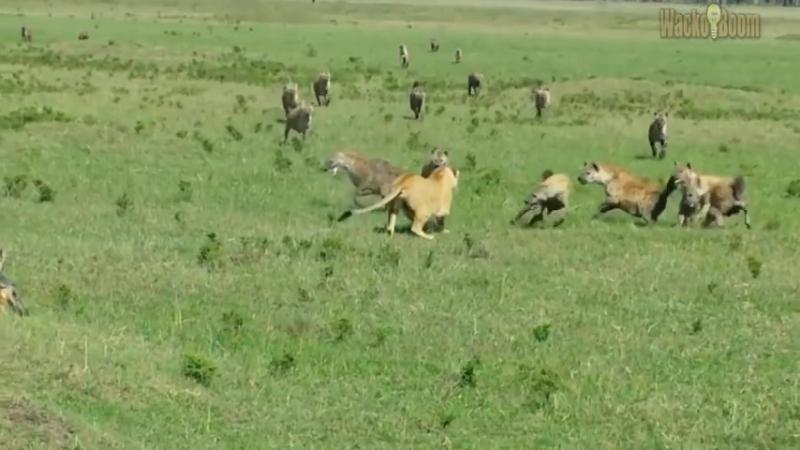 Удивительные моменты из жизни диких животных.