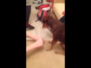 Собака отгадывает в какой руке вкусняшка