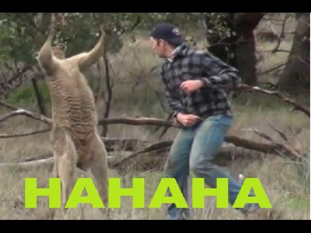 Драка!Мужик наказывает кенгуру за грязные надругательства над его псом)