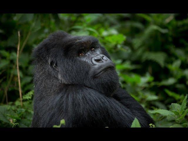 Дикая природа. Мир животных Африки. Гориллы. Документальный фильм.