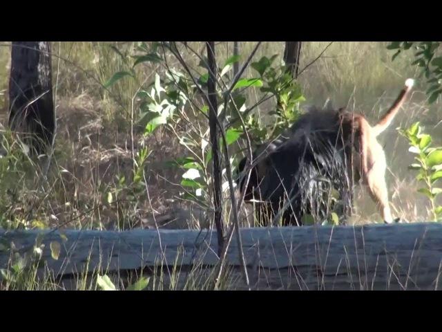 Hunting Wild Boar with Bull Arab dog in Australia - Hogs Dogs Quads