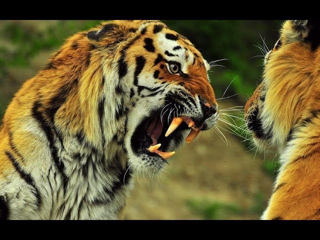 Животный мир. Тропа тигра. Коготь Непала. Число зверя. Охота на людей. Захват людо...