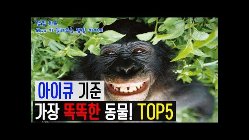 [랭킹 차트] 아이큐 순위! 가장 똑똑한 동물! TOP5 (Mco가 들려주는 랭킹 이야기)