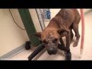 🐈Vet Ranch на русском. Спасение слепого щенка.