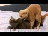 Кот всунул партнерше, кошка орет!Ржач до слез