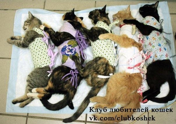 так во сколько месяцев кастрируют кошек для девочки это