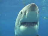 Большая белая акула крупным планом