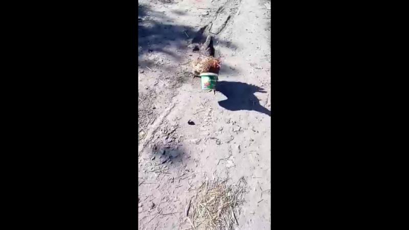 бежит курочка с ведром заливать Кошкин дом
