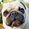 Порода мопс пес щенки фото