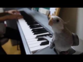 Попугай поёт под пианино