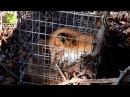 Барсуки и лисы проходят медосмотр на «Земле леопарда»\Medical examination for badgers and foxes