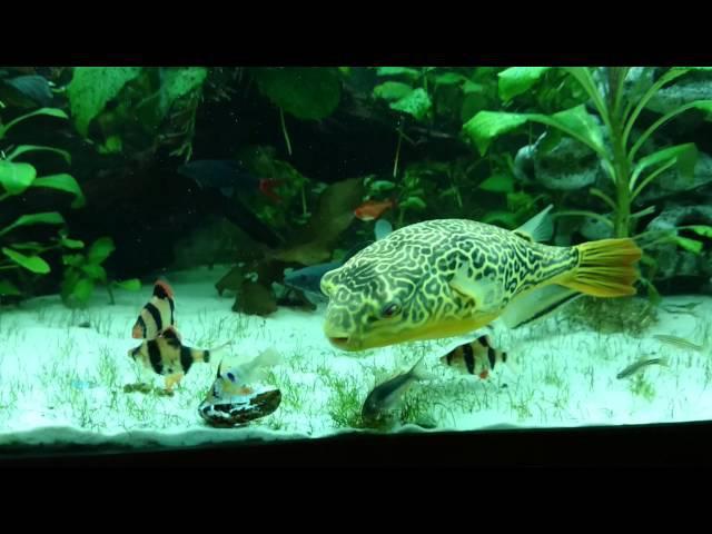 Pufferfish Giant Tetraodon MBU vs Mussel