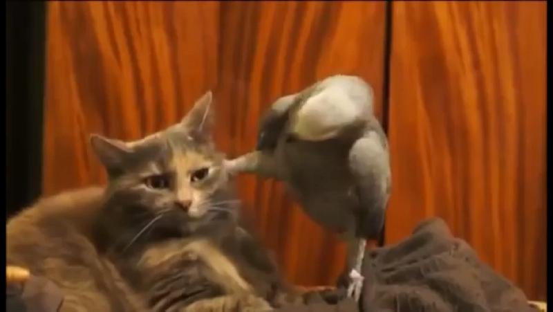 Прикол Попугай и кот