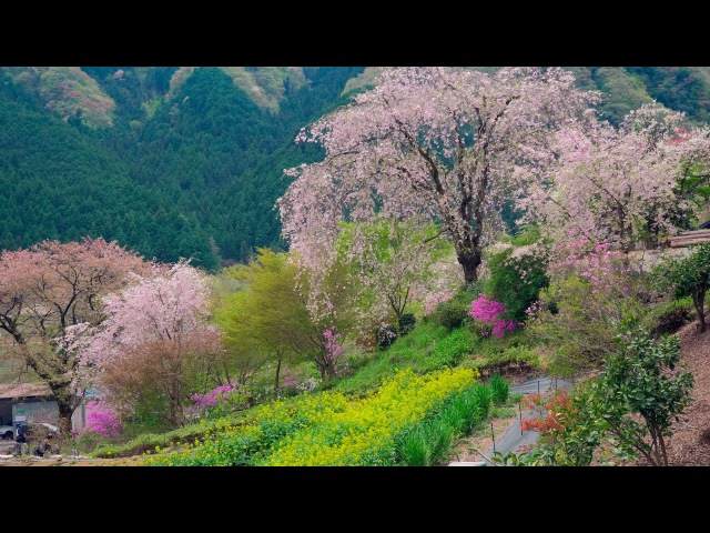 [ 4K Ultra HD ] 多摩の桜(あきる野市・八王子市・檜原村) Cherry Blossoms in Tama area , TOKYO (Shot on GH5 with Gimbal)