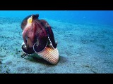 A Coconut Octopus Uses Tools to Snatch a Crab