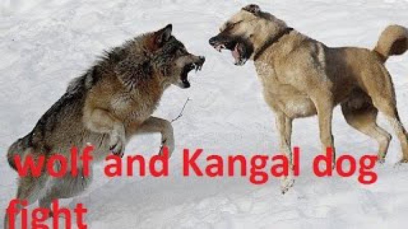 Wolf and Kangal dog fight