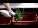 Новый игрок на рынке марихуаны Израиль планирует революцию в области медицинского каннабиса
