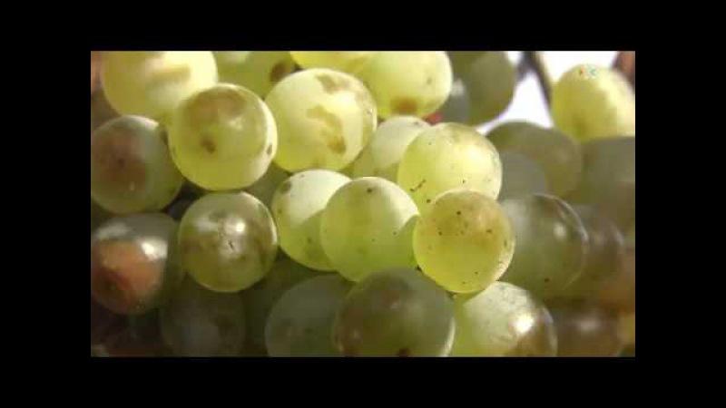 На самом крупном в Крыму предприятии — производителе винограда планируют собра...