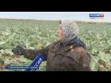 Время рубить капусту – в Горномарийском районе собрали хороший урожай