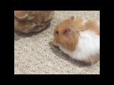 Cats vs Hamsters