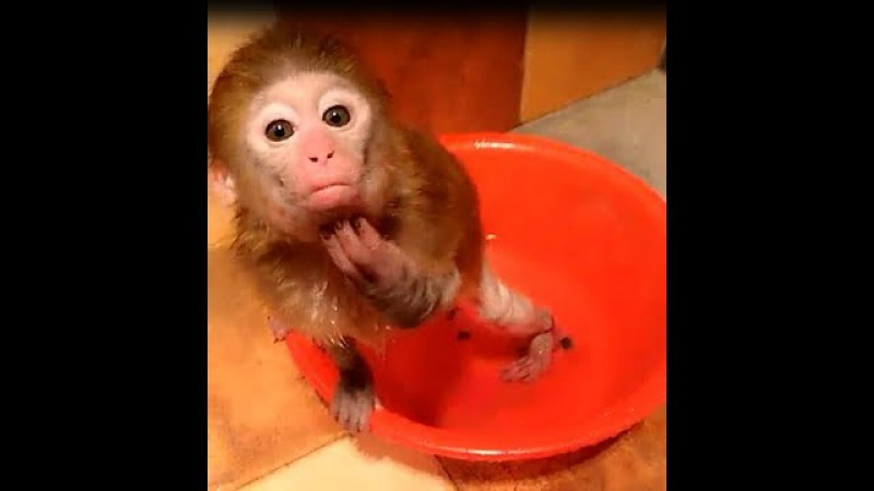 These strange bathing postures of the pocket monkey, That's so funny!