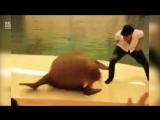 Морж танцует танец Майкла Джексона