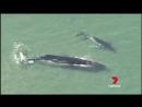 North Stradbroke Island whale freed