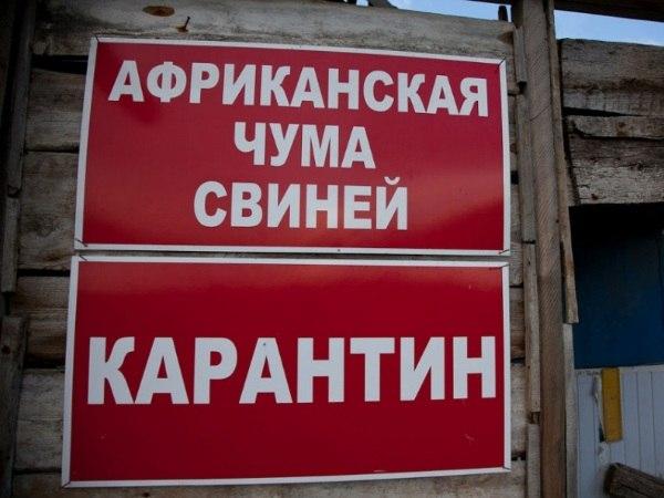 Трое жителей Ростовской области пытались вывезти свинину из очага АЧС