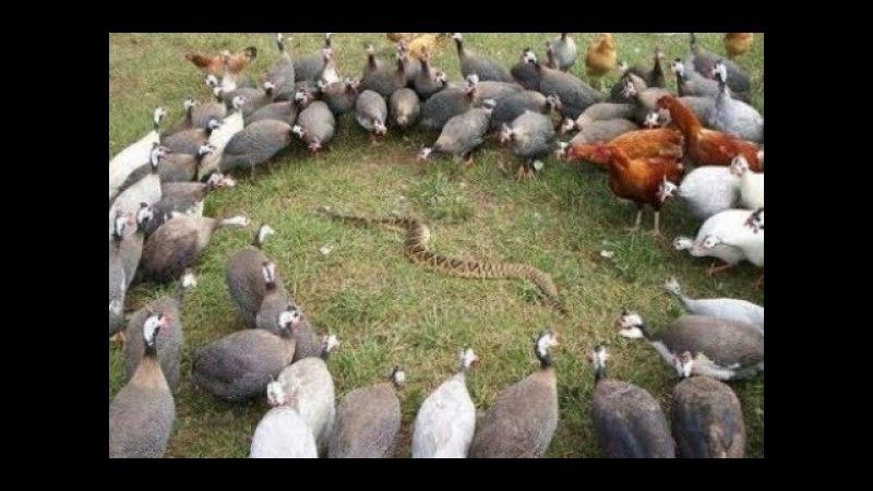 Cuộc chiến không cân sức rắn hổ mang chúa , đại bàng , chồn , sóc , lửng mật - Bird vs King cobras