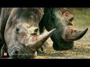 В чешском зоопарке носорогам отпилят рога, чтобы защитить их от браконьеров