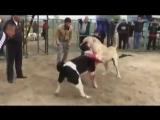 [v-s.mobi]Собачьи бой Төбет VS Алабай 1.360p