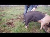 Как выпрямить хвост свинье