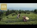 Чай - история одного листа Серия 1 Тепло земли и ладоней Часть 2