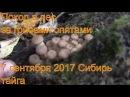 Поход в лес за грибами опятами 7 сентября 2017 Сибирь тайга природа охота сбор гриб