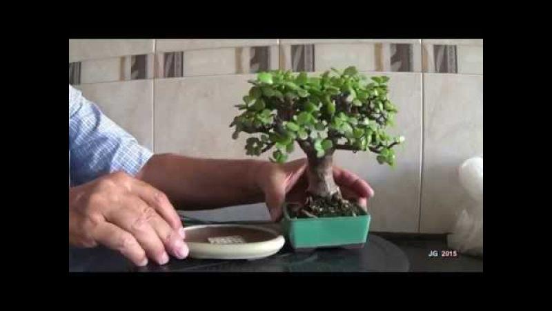 Portulacaria afra Mame Poda defoliado trasplante y brotación Técnicas cultivo y formación