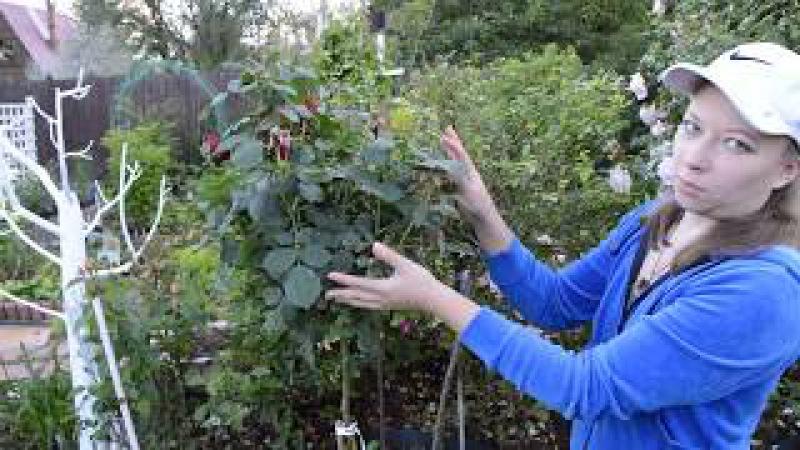 Как выбрать штамбовую розу
