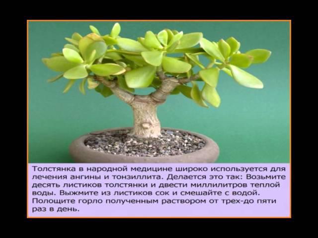 Толстянка (денежное дерево). Лечебные свойства денежного дерева и противопоказания.