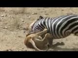 Amazing- Lion vs Zebra _ Lion kills zebra almost _ Lion hunting zebra _ Zebra es_low