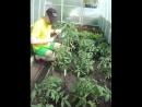 Забористые семена из голандии (но не стал использовать гидропонику)