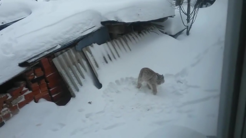 Рысь загрызла кошку в Можге (Удмуртия)_HD.mp4
