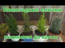 Как сохранить «новогодние елочки» в горшках до весны до пересадки в грунт