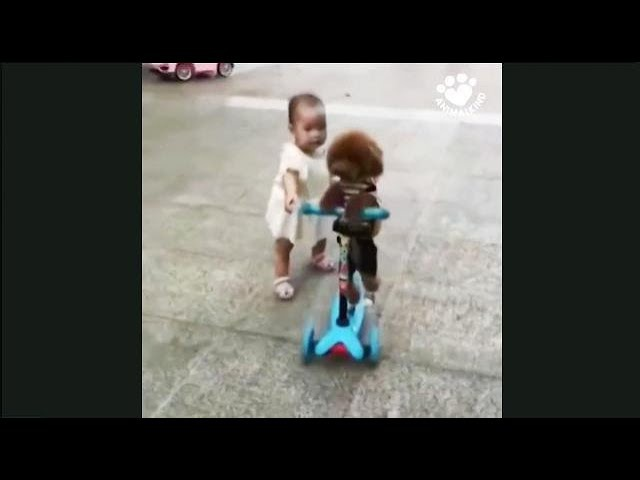 Poodle steals scooter from unsuspecting toddler