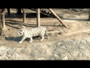 Пекинский зоопарк. Тигр-альбинос.