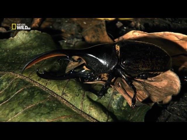 Удивительные насекомые (Жук геркулес)