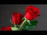 Acker BILK The Rose